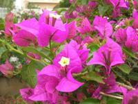 buganvillea - 21 maggio 2012  - Alcamo (328 clic)