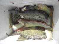 Zona Canalotto - pesci appena pescati - 17 agosto 2012  - Alcamo marina (559 clic)