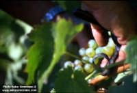 Vendemmia  - Siculiana (2006 clic)