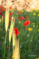Primavera ad Occhiolà (902 clic)