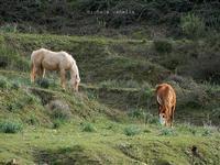 Cavalli nei pressi del bosco del Vaito   - Granieri (1450 clic)