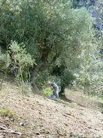 La raccolta delle olive,una tradizione siciliana.   - Gratteri (982 clic)