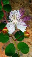 Capparis Spinosa   - Sferracavallo (949 clic)