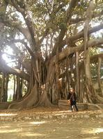 Le meraviglie di madre-natura. Il ficus macrophylla è la pianta più alta e più grande dell'orto botanico, con le sue grosse radici tubulari ed aeree.  - Palermo (709 clic)