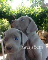 Meravigliosi cuccioli di weimaraner !  Allevamento GREYS BETH riconosciuto Enci-Fci,  Cuccioli dis