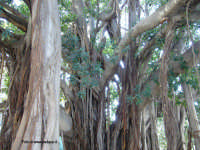 Parco D'Orleans: particolare del ficus magnolioides    - Palermo (4773 clic)