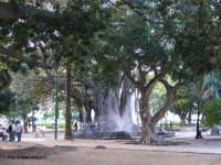 Ficus magnolioides PALERMO aldo romana