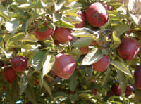 Mele dell'Etna  - Sant'alfio (5760 clic)