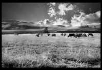 mucche all'alba  - Caltanissetta (3595 clic)
