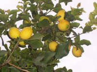 Limoni di Sicilia.  Sicilian lemon  - Villafranca tirrena (5909 clic)