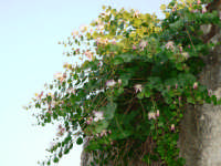Ghiappiri (pianta dei Capperi)  - Serro di villafranca tirrena (13617 clic)