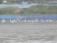 Palude di Morghella uccelli   - Morghella (4120 clic)