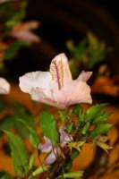 Fiore in notturna  - Ispica (3612 clic)