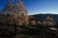 FRUTTETI NELLE CAMPAGNE DI MANIACE  - Nebrodi (4338 clic)