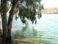 Lago Pozzillo. Particolare con Eucaliptus in acqua.  - Regalbuto (3758 clic)