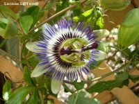 Passiflora  - Fontane bianche (4398 clic)