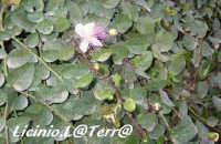 La pianta del cappero in fioritura  - Cava d'aliga (3098 clic)