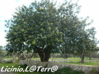 Uno splendido esemplare di carrubo  - Canicattini bagni (2694 clic)