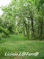 Scorcio della pineta  - Buccheri (5411 clic)