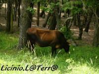 Un bovino al pascolo all'interno della pineta  - Buccheri (2493 clic)