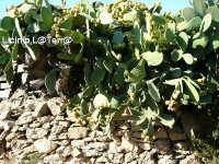 Muretto a secco e fichi d'india  - Cava d'aliga (4481 clic)