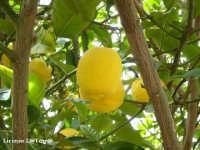 Limoni siciliani  - Cava d'aliga (6706 clic)