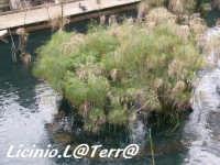 Il papiro della Fonte Aretusa  - Siracusa (2085 clic)