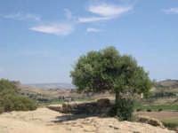 Ulivo  - Agrigento (4054 clic)