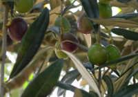 Olive sulla pianta  - Marsala (5022 clic)