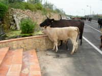 mucche si abbeverano alla fontana dell'agriturismo gianferrante.  - Paternò (3168 clic)
