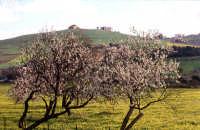 mandorlo in fiore natura   - Agrigento (4104 clic)
