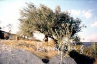 Sicilia 1980/82 civilta' contadina: Nostalgia?  - Mazzarino (3126 clic)