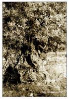 Ulivo nella Valle dei Templi  - Agrigento (2289 clic)