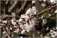 Mandorlo in fiore  - Agrigento (5285 clic)