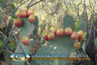FRUTTO SICILIANO FICHIDINDIA  - Donnafugata (3739 clic)