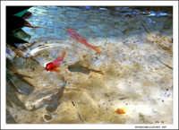 Pesci rossi in laghetto.  - Catania (5090 clic)