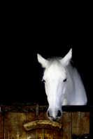 Un meraviglioso cavallo bianco.  - Santa venerina (10674 clic)
