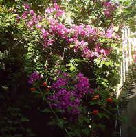 I fiori di Teresa.  - Buccheri (2005 clic)