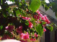 Spesso i rami e i fiori sporgono sulle vie. Che bello!  - Marina di ragusa (3481 clic)