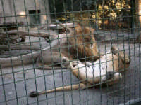 il leone e la leonessa  - Paternò (5104 clic)