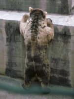 l'orso bruno in tutta la sua altezza  - Paternò (6622 clic)