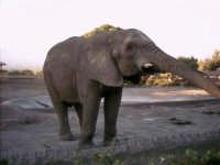 l'elefante che allunga l'aproboscide per una nocciolina  - Paternò (6408 clic)