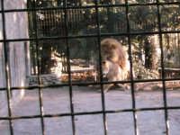 accoppiamento in cattività del leone e della leonessa  - Paternò (7598 clic)