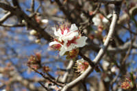 Fiore di mandorlo in febbraio: é solo un gioco della natura?  - San mauro castelverde (1701 clic)