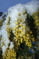 Mimosa sotto la neve  - San mauro castelverde (4829 clic)