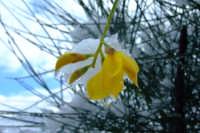 Fiore di ginestra sotto la neve  - San mauro castelverde (4869 clic)