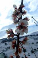 Fiore di mandorlo   - San mauro castelverde (5820 clic)