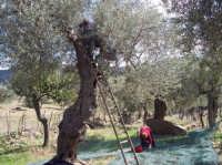 Autunno. La raccolta delle olive  - San mauro castelverde (2043 clic)