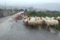SP 60- San Mauro- Gangi...anche le pecore hanno paura a passare...  - San mauro castelverde (7487 clic)