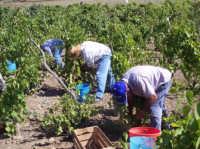 La vendemmia  - San mauro castelverde (2092 clic)
